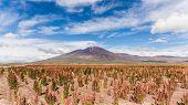 picture of quinoa  - Quinoa fields in the south american altiplano in bolivia - JPG