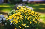 foto of chrysanthemum  - Bouquet of small yellow wild flowers - JPG