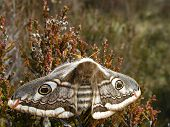 picture of moth  - Female Emperor Moth in amongst an area of heather - JPG