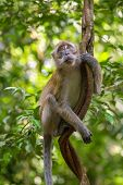stock photo of gunung  - Macaque hanging on a liana in Gunung Leuser National Park - JPG