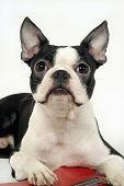 foto of french bulldog puppy  - Cute Pet Animal - JPG
