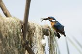 Kingfisher (Alcedo Atthis) Sitting On A Branch/Wooden Stick poster