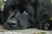 pic of newfoundland puppy  - Puppy dog eyes - JPG