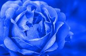image of fairy-tale  - blue rose in close up - JPG