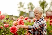 farming, gardening and people concept - happy senior woman with dahlia flowers blooming at summer ga poster