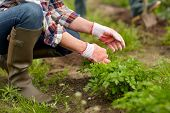farming, gardening, agriculture and people concept - senior woman weeding parsley on garden bed at s poster