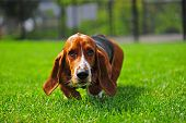 stock photo of seeing eye dog  - An adorable Basset Hound runs to the camera that is at his level - JPG