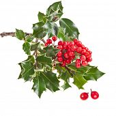 image of aquifolium  - european holly Ilex aquifolium isolated on white - JPG