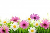 stock photo of daisy flower  - Daisy flower in green grass - JPG