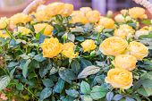 Yellow Roses In Wicker Basket, Greeting Card, Natural Background poster