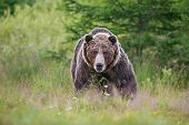 Massive Aggressive Male Brown Bear. Ursus Arctos. Front View On Summer Meadow And Forest In Backgrou poster