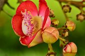 pic of cannonball-flower  - Cannonball tree flower over green background in park - JPG