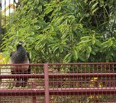 foto of peahen  - peahen sitting on a metal fence in a park - JPG
