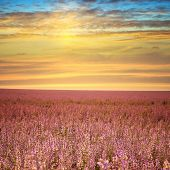 picture of purple sage  - Sage field at sunset - JPG
