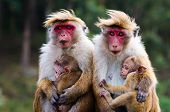 image of bosoms  - Monkey family with two babies - JPG