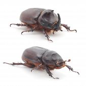 picture of oryctes  - The male and female of rhinoceros beetle  - JPG