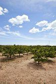 stock photo of valencia-orange  - Orange orchard - JPG