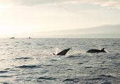 stock photo of bottlenose dolphin  - Dolphins in Pacific Ocean at sunrise. Bali, Indonesia