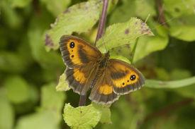 pic of gatekeeper  - Hedge Brown or Gatekeeper Butterfly  - JPG