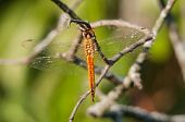 image of wander  - Wandering Glider dragonfly perched and hanging from a branch. ** Note: Slight blurriness, best at smaller sizes - JPG