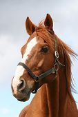 pic of horse face  - Head shot of a chestnut horse - JPG