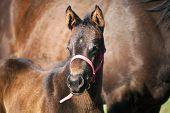 stock photo of colt  - Few weeks  old full - JPG
