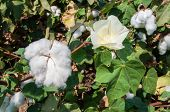 picture of paysage  - Stunning rural closeup on flowers of cotton harvest in northern Israel. ** Note: Visible grain at 100%, best at smaller sizes - JPG