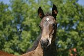 foto of colt  - Beautiful thoroughbred chestnut foal portrait on pasture - JPG