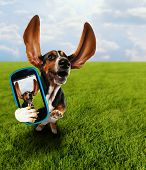 stock photo of furry animal  -  a cute basset hound running in the grass taking a selfie on a cell phone - JPG