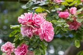 picture of garden eden  - Pink rosa in ornamental garden with selective focus - JPG