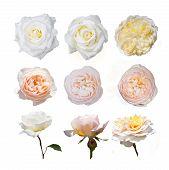 foto of english rose  - Rose collection - JPG