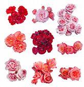 image of english rose  - Rose collection - JPG