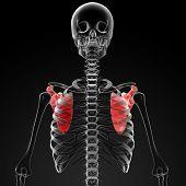 image of shoulder-blade  - 3d render medical illustration of the scapula  - JPG