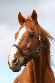 picture of chestnut horse  - Head shot of a chestnut horse - JPG