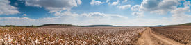 image of paysage  - Stunning rural landscape of cotton fields. Patchwork panoramic view. Cotton harvest in northern Israel.