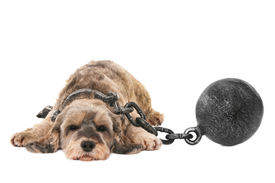 foto of shackles  - A sad dog with shackles - JPG