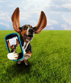 picture of pal  -  a cute basset hound running in the grass taking a selfie on a cell phone - JPG
