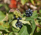 stock photo of lantana  - Edible and tasty fruit, berries of Lantana camara ** Note: Soft Focus at 100%, best at smaller sizes - JPG