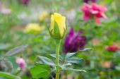 stock photo of yellow buds  - close up of yellow rose bud in the garden - JPG
