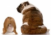 picture of derriere  - two english bulldogs sitting with back to viewer with reflection on white background - JPG