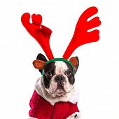 stock photo of rudolph  - French bulldog dressed as reindeer Rudolph over white - JPG