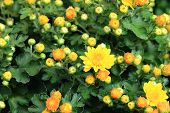 picture of yellow buds  - Chrysanthemum flowers and buds - JPG