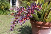stock photo of monocots  - a picture of a blooming bromeliad plant - JPG