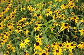 pic of black-eyed susans  - a picture of a garden of black - JPG