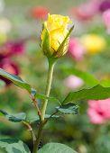 stock photo of yellow buds  - yellow rose bud in flower garden  - JPG