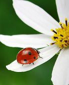 picture of ladybug  - Ladybug and flower on a green background - JPG