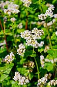 pic of buckwheat  - White flowers of buckwheat on the background of green leaves on the buckwheat field - JPG