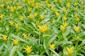 stock photo of bromeliad  - Bromeliad flower blooming in garden - JPG