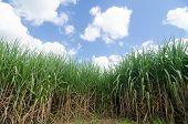foto of sugar industry  - Sugarcane field in Loei Province - JPG