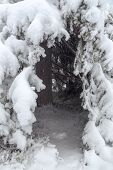 picture of laplander  - Natural hut in the crown of fir - JPG